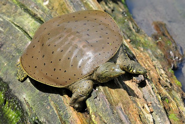 Spiny Softshell Turtle. The spiny softshell turtle (Apalone spinifera) is a species of softshell turtle, one of the largest freshwater turtle species in North America. They get their name from the spiny, cone-like projections on the leading edge of their carapaces, which are not scutes (scales).