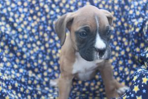 Boxer Puppies For Sale In Shippensburg Pa Http Www Network34 Com Dogsbreed Boxer Puppies For Sale Pa With Images Boxer Puppies For Sale Cute Boxer Puppies Boxer Puppies