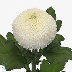 Chrysanthemum Blooms Ping Pong Are A Round White Disbudded Single