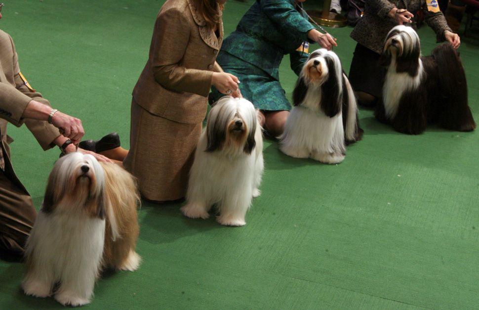 A Whole Row Of Tibetan Terriers 3 Westminster Dog Show Tibetan