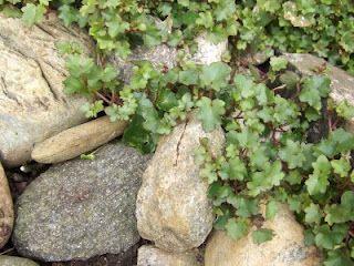 Torskemunn blandt steinene