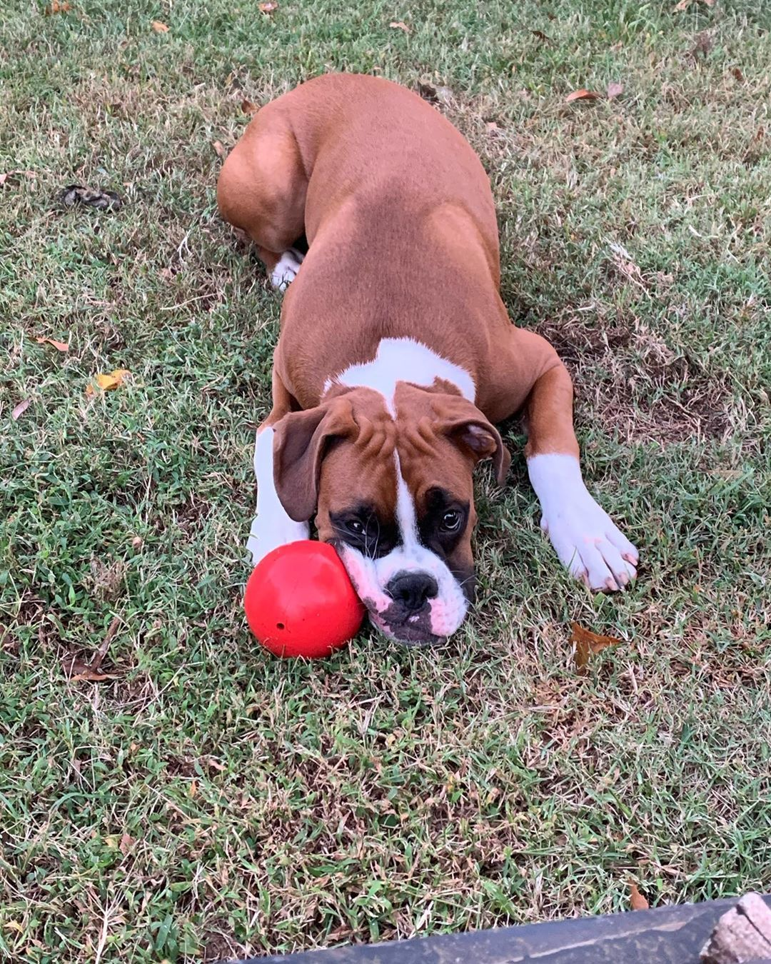 Boxer Dog Breed Boxer Dogs Boxer Dog Care