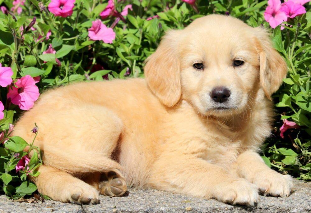 Golden Retriever Puppy Tiere Hund Kuscheltier Hund Susse Hunde Welpen