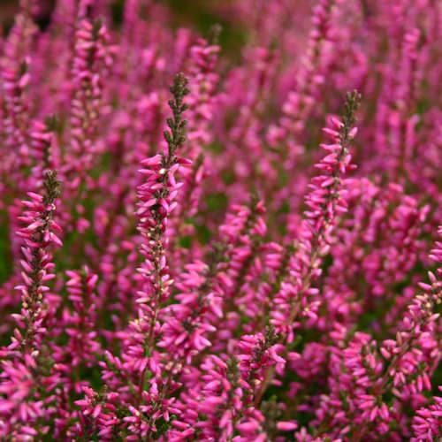 Calluna Vulgaris Marlies Bruyere Commune Summer Heather Calluna Vulgaris Marlies Planting Flowers Language Of Flowers Flowers