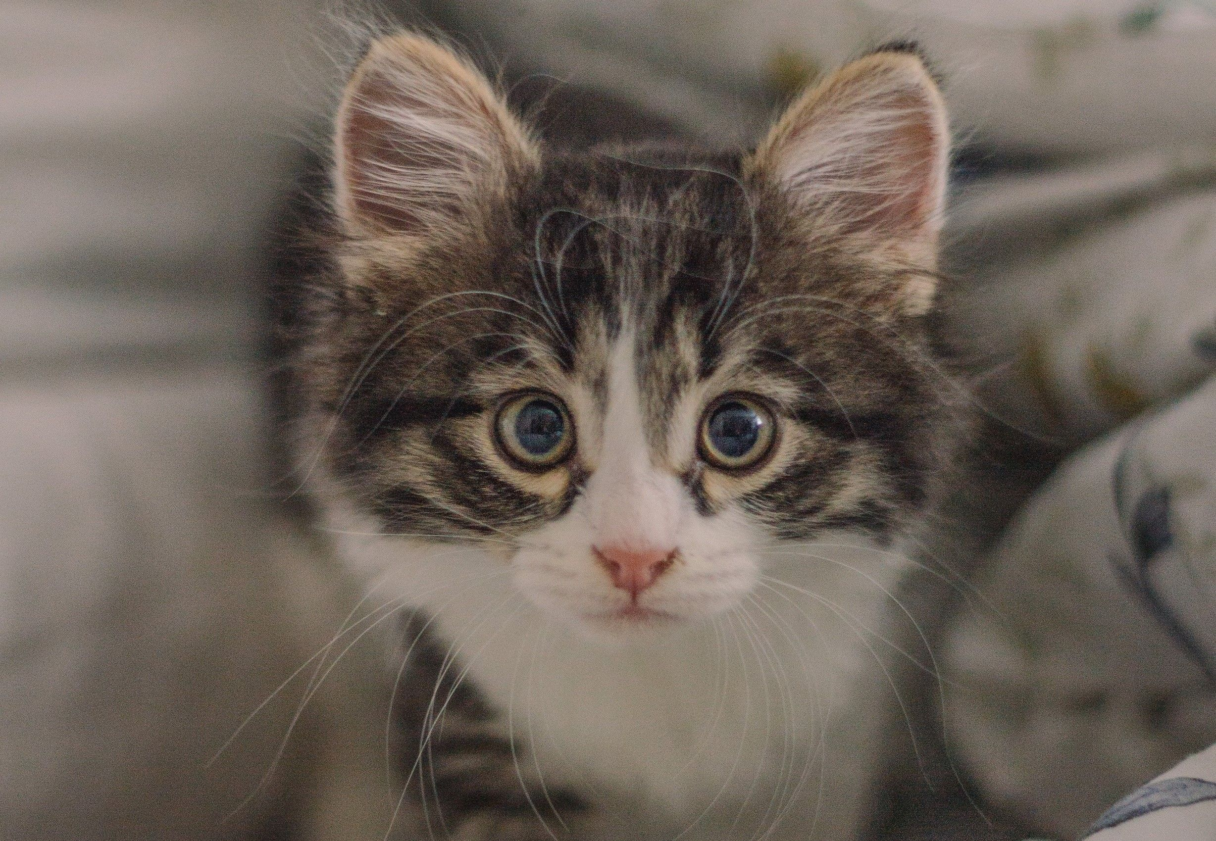 Animal Cat Cats Kitten Face Cute Hd Wallpaper Background Image In 2020 Cats And Kittens Animal Wallpaper Animals
