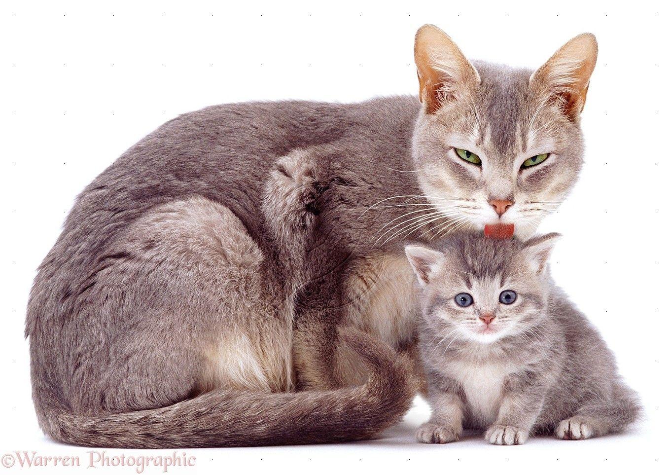 Мама кошка и котята картинка