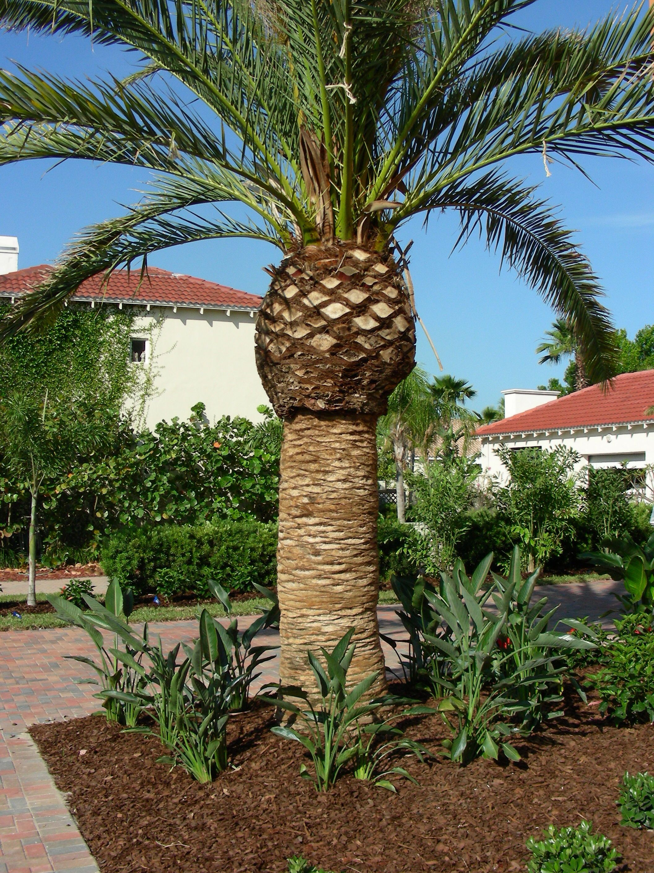 Canary Island Date Palm Is A Sentimental Favorite