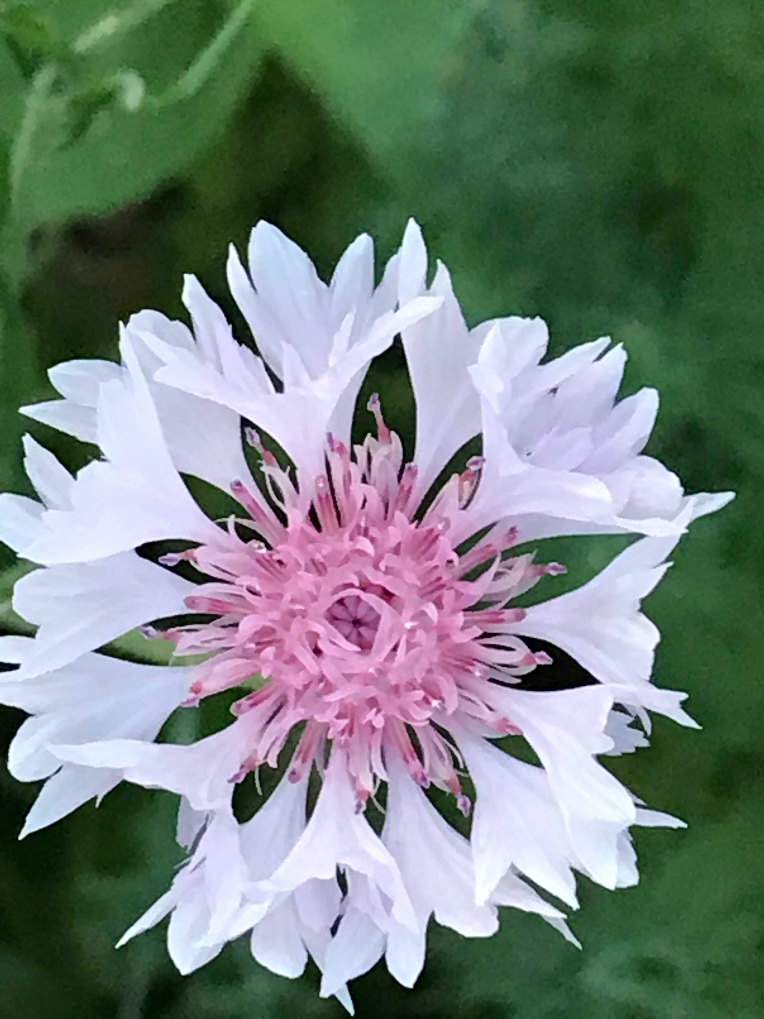Pink And White Bachelor Button Mass 2019 Rare Flowers Flowers Nature Amazing Flowers