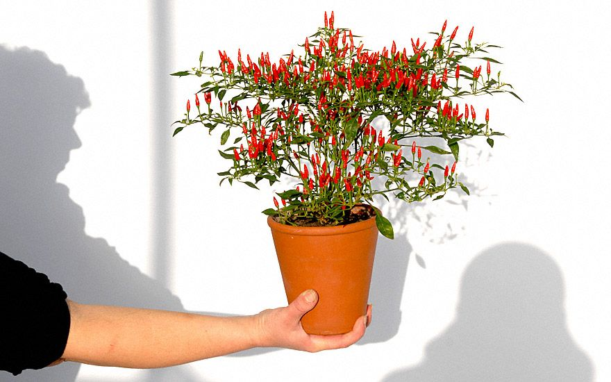 mini chili bonsai chili pflanze mein garten pinterest pflanzen chili pflanzen und bonsai. Black Bedroom Furniture Sets. Home Design Ideas