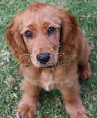 3170852 A Golden Cocker Spaniel Puppy Sitting On Grass Jpg 327 400 Pixels Cocker Spaniel Puppies Golden Cocker Spaniel Cocker Spaniel