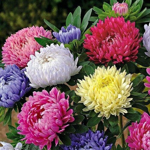 Aster Paeony Duchess Mix Flower Seeds Callistephus Tall Paeony 50 Seeds Aster Flower Bonsai Flower Chrysanthemum Flower