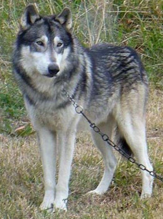 Wonderful Wolfbear Chubby Adorable Dog - 2dff7af9a35d0510f8acffca05dfd293  HD_748740  .jpg