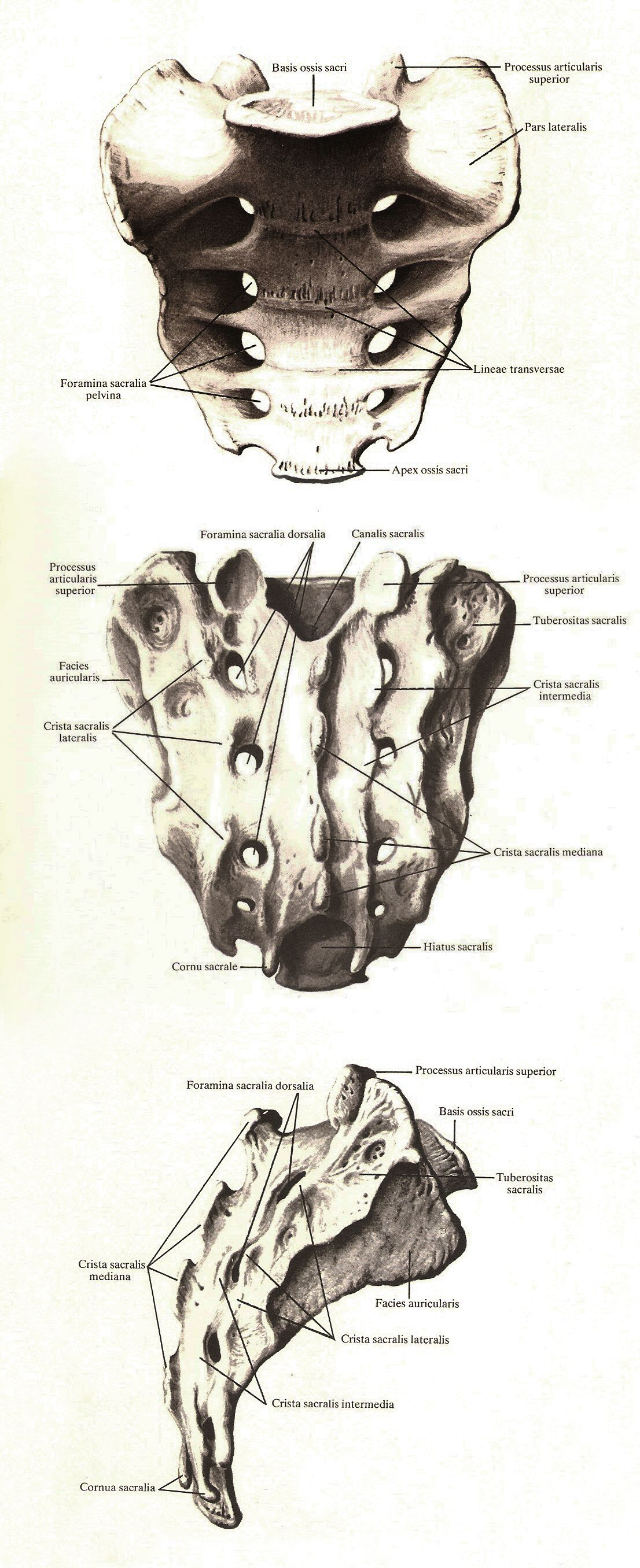 Sacrum Atlas Of Human Anatomy Rd Sinelnikov Anatomy