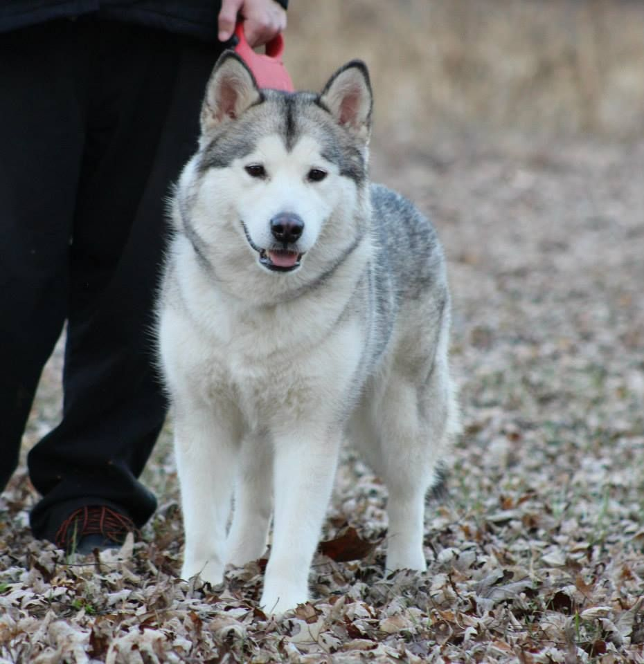 Www Iceagemals Com Pups Availabledogs4alaskanmalamute Html Akc