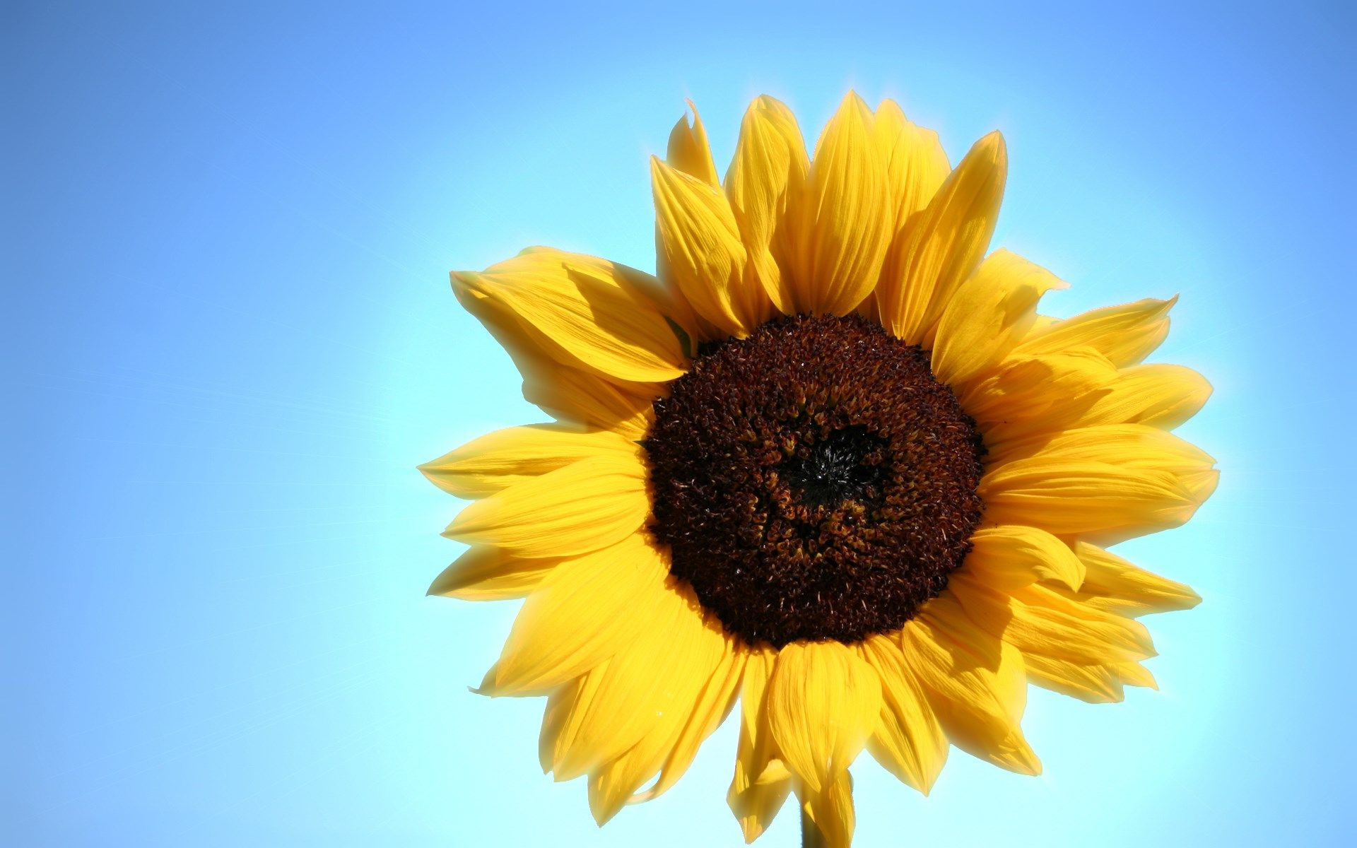 sunflower high resolution wallpapers widescreen | Desktop ...