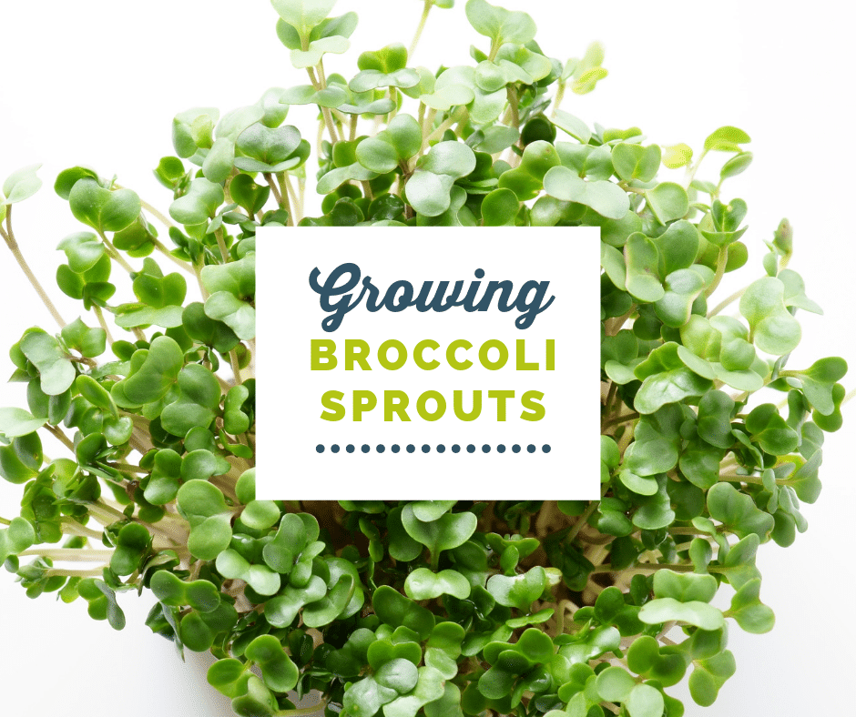 How to Grow Broccoli Sprouts | Health & Essential Oils