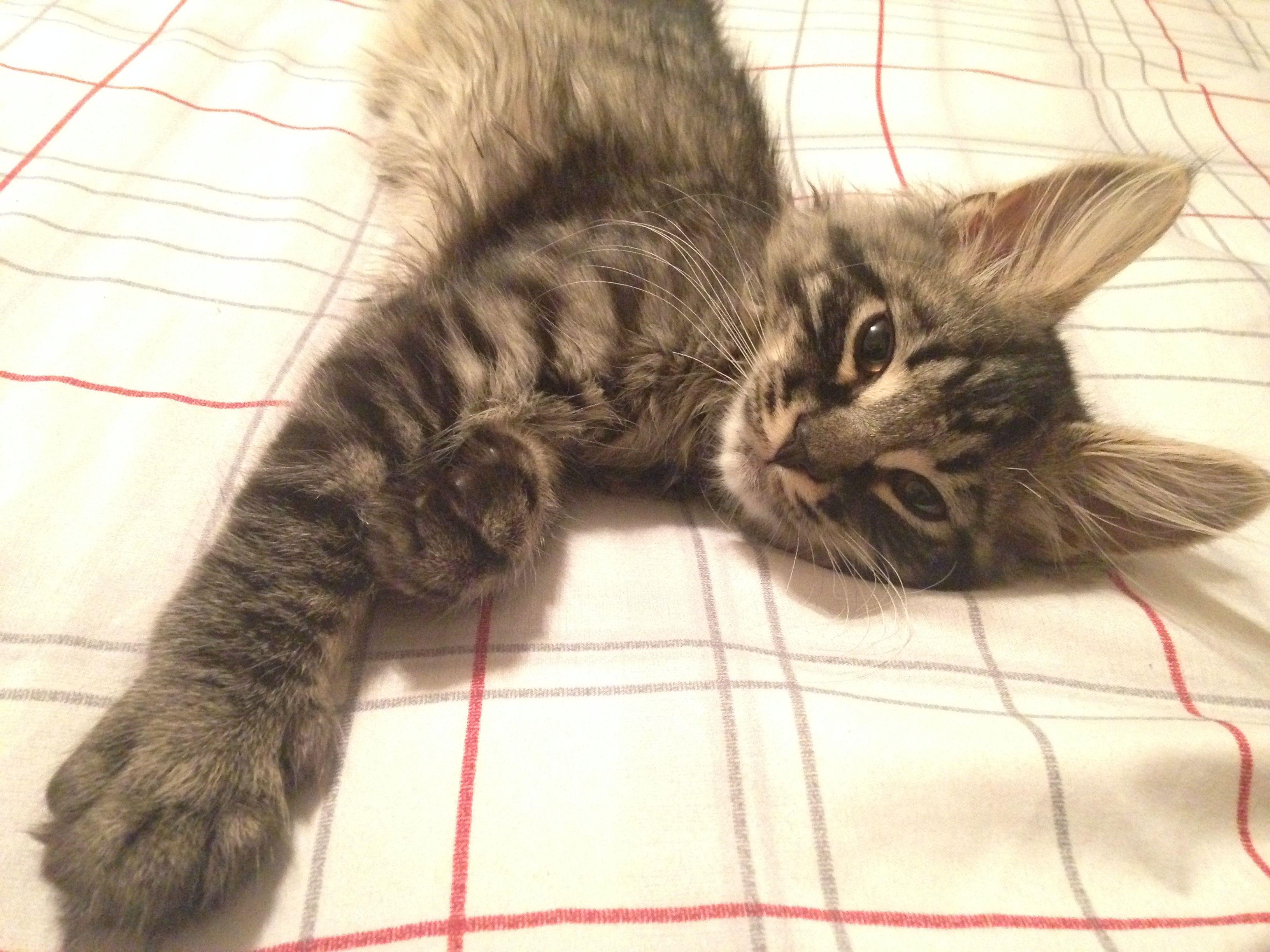 Sev The Almost 14 Week Old Kitten Kitten Animals Cats