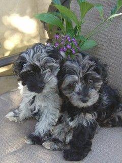 Merle Cockapoo Cute Baby Animals Cute Puppies Cute Animals