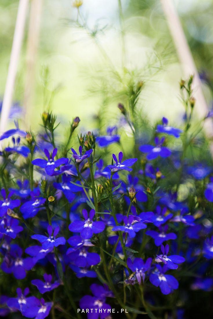 Lobelia Kwiaty Doniczkowe Na Tarasie Blue Flowers Shade Garden Flowers Plants