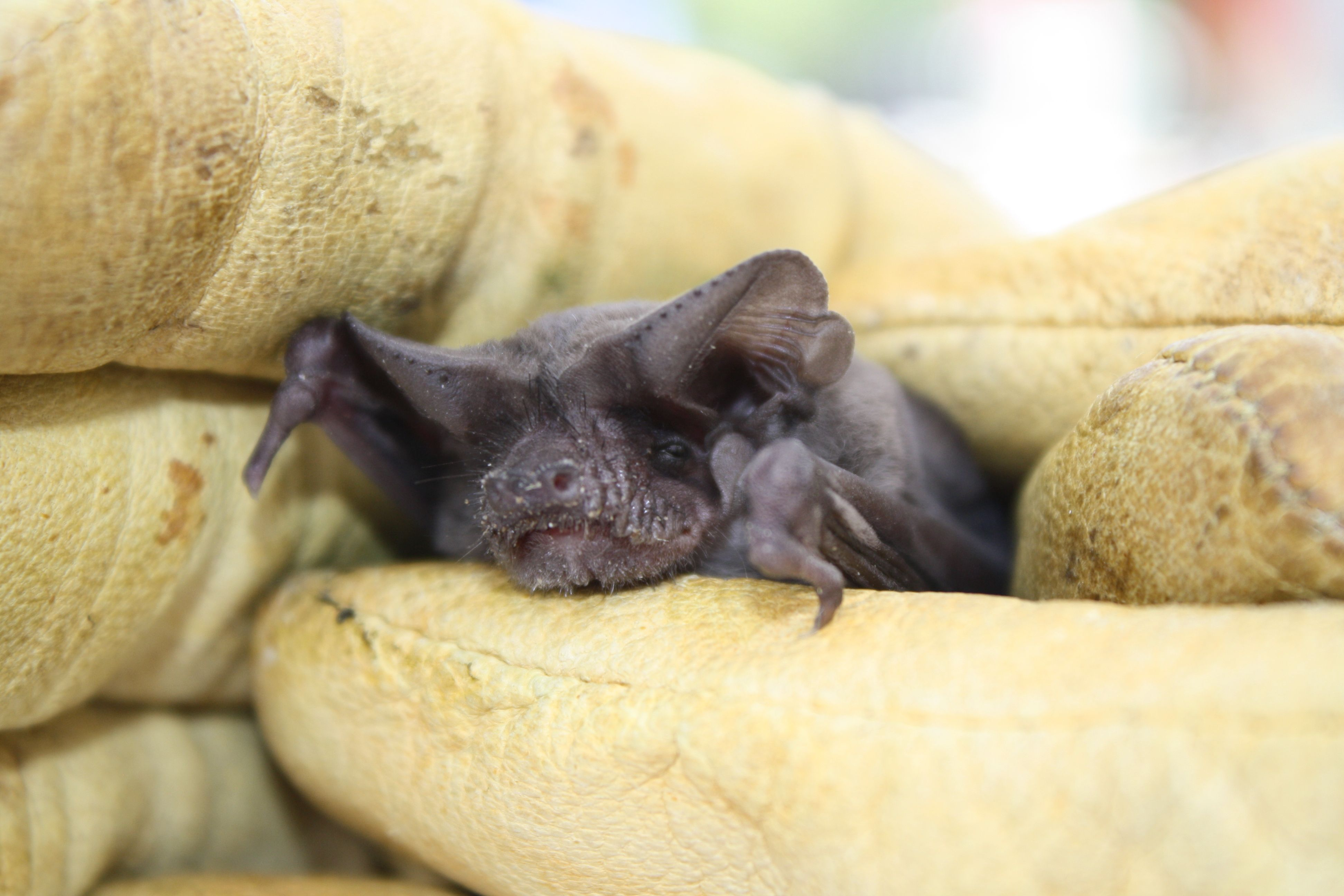 Oklahoma State Flying Mammal Mexican Freetailed Bat