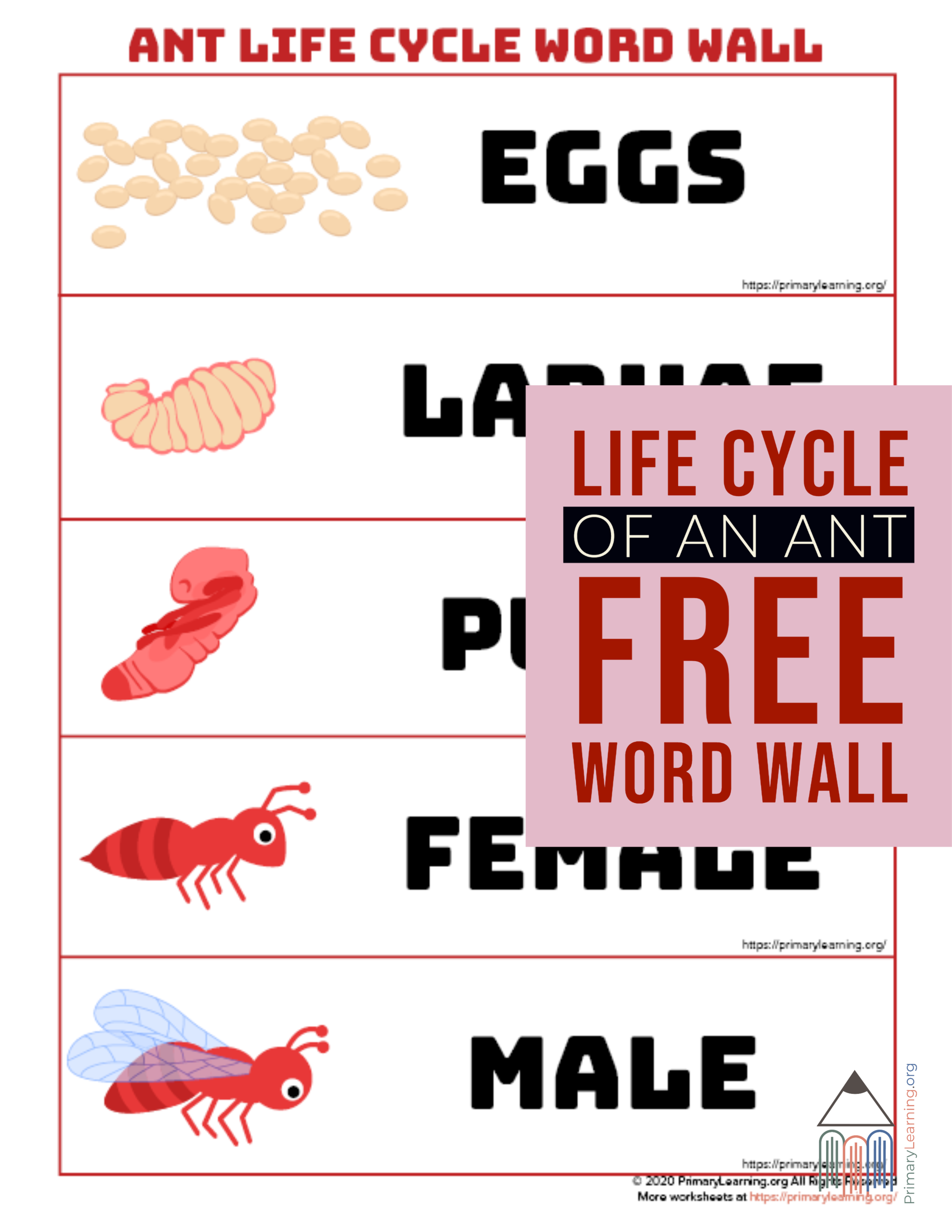 Ant Life Cycle Word Wall In