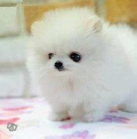 Fawn And White Parti Pomeranian White Teacup Puppies Cute Pomeranian Pomeranian Puppy Super Cute Animals