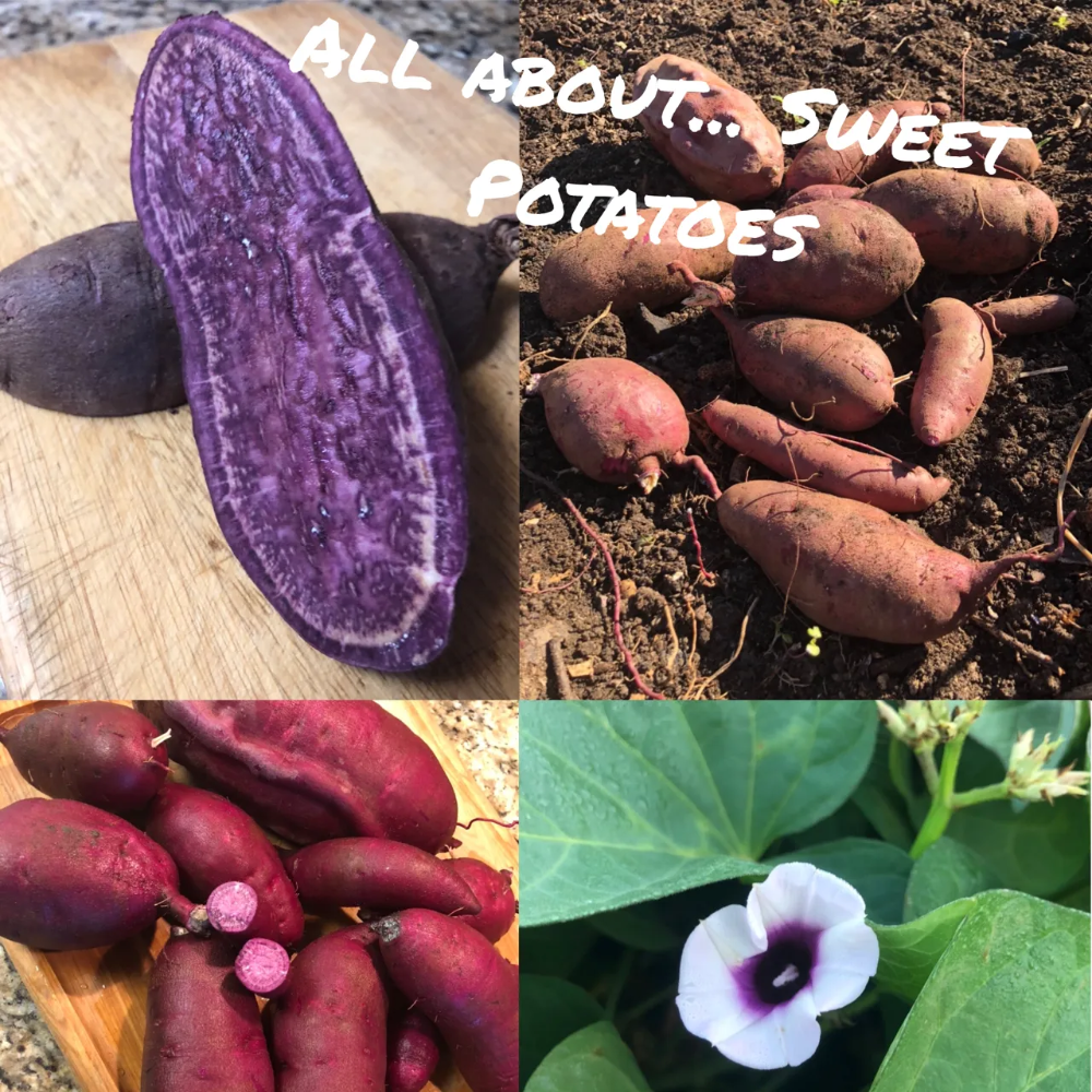 All About Sweet Potatoes Ted Viridian Sweet Potato Sweet Potato Leaves Potatoes