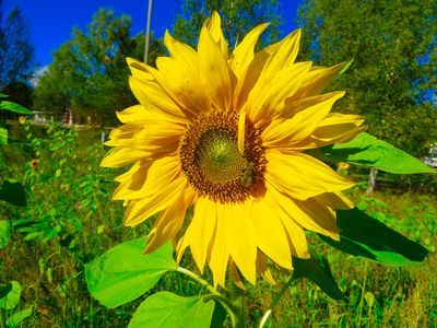 Sunflower is a big, yellow flower that attracts butterflies and bumble-bees to come