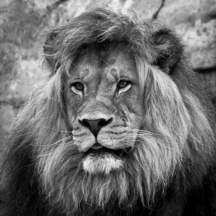 African Lion Black And White by Steve McKinzie Black and