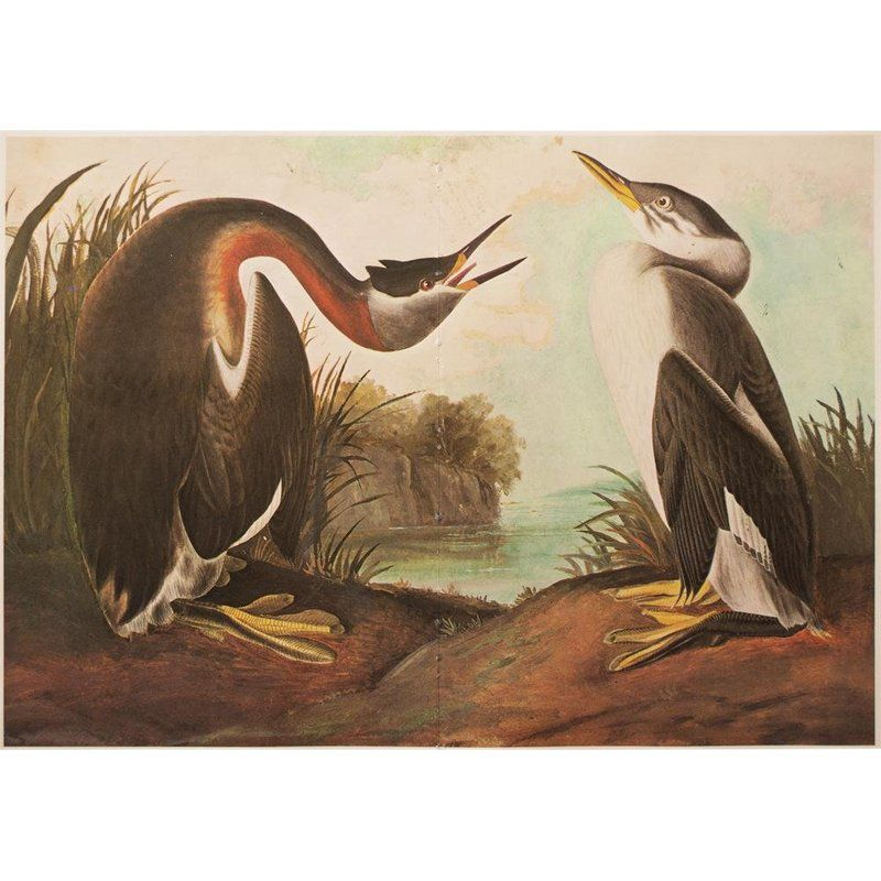 1966 Birds Of America Lithograph By Audubon John James Audubon