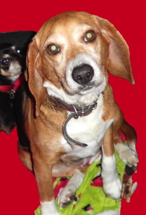 Gentle Beagle Girlweighing In At About 27 Lbs 9 17 13 This