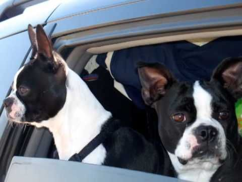 Funny Dog Video Boston Terriers Short Version My Grandpa And Aunt S Dogs Do This To Basketballs So I Play Soccer Boston Terrier Funny Dogs Funny Dog Videos