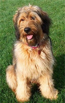 Alfie Marie Noble The Briard Sitting Outside In Grass With Its Mouth Open And Its Tongue Out Briard Dog Dogs Dog Breeds
