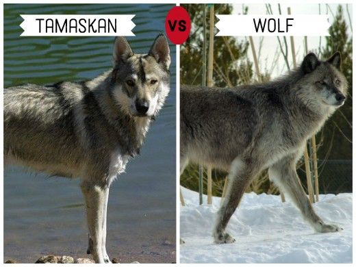11 Dogs That Look Like Wolves Tamaskan Dog Pet Wolf Wolf Dog