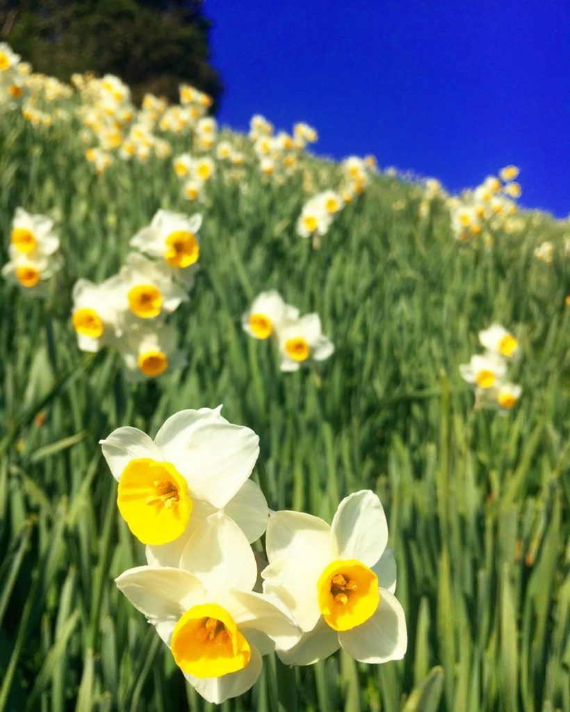 Nada Kuroiwa Narcissus Field Beautiful Flowers Daffodils