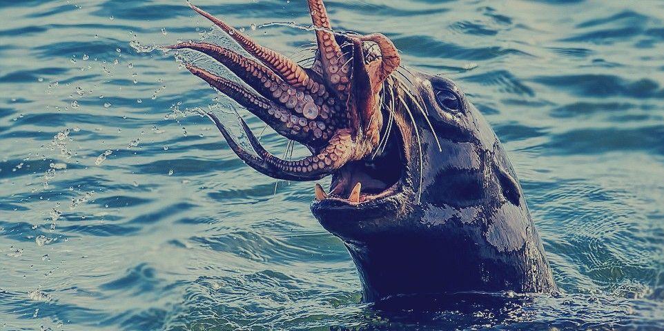 لقطات مذهلة لصراع بين حيوان فقمة جائع و إخطبوط ضخم Weird Animals Wildlife Pictures