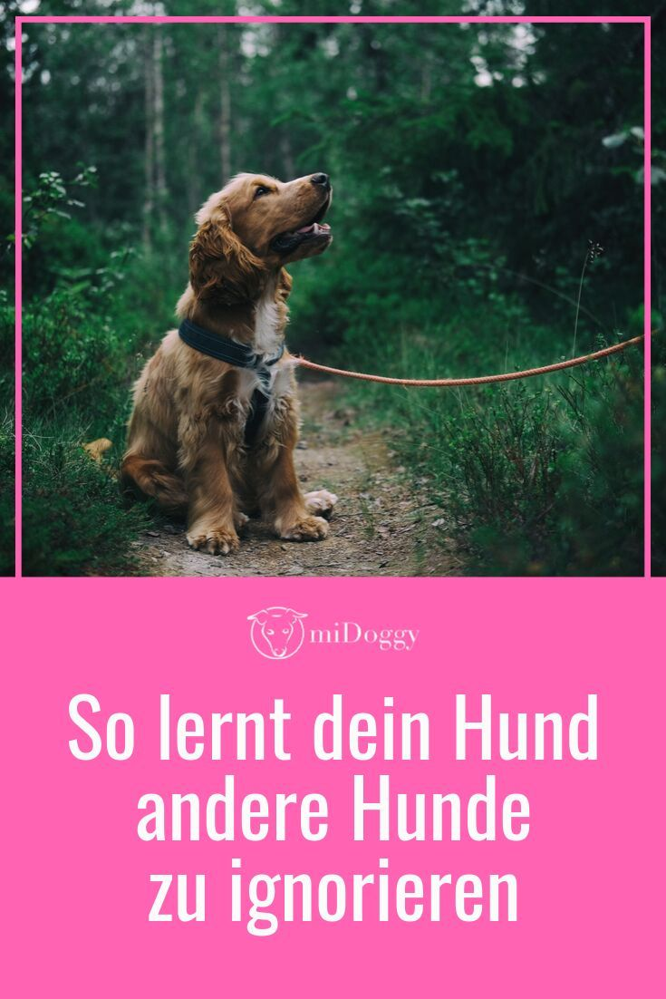 Photo of ¿Cómo aprende mi perro a ignorar a otros perros? -Con una correa- |  comunidad miDoggy