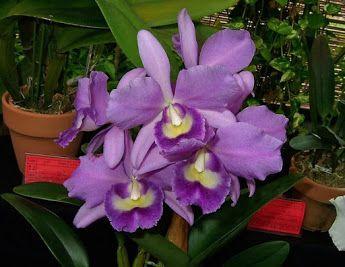 Orchids's Cattlianthe Blue Boy 'Wise' (Ctt. Ariel x C. Elegans)