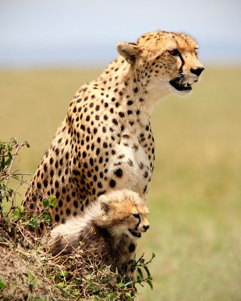 The mass extinction of cheetahs has been ignored for far