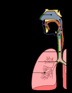 Illu Conducting Passages Es Aparato Respiratorio Wikipedia La Enciclopedia Li Aparato Respiratorio Anatomia Del Cerebro Humano Sistema Respiratorio Humano