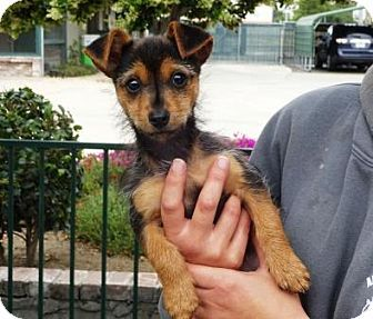 Lathrop, CA - Terrier (Unknown Type, Small) Mix. Meet Ladybug, a puppy for adoption. http://www.adoptapet.com/pet/18021108-lathrop-california-terrier-unknown-type-small-mix