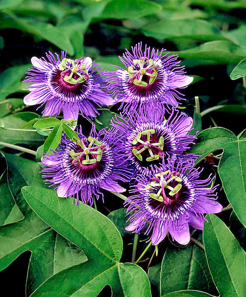 Passion Flower Care Tips For Growing Passion Flowers Passion Flower Plant Unusual Flowers Strange Flowers