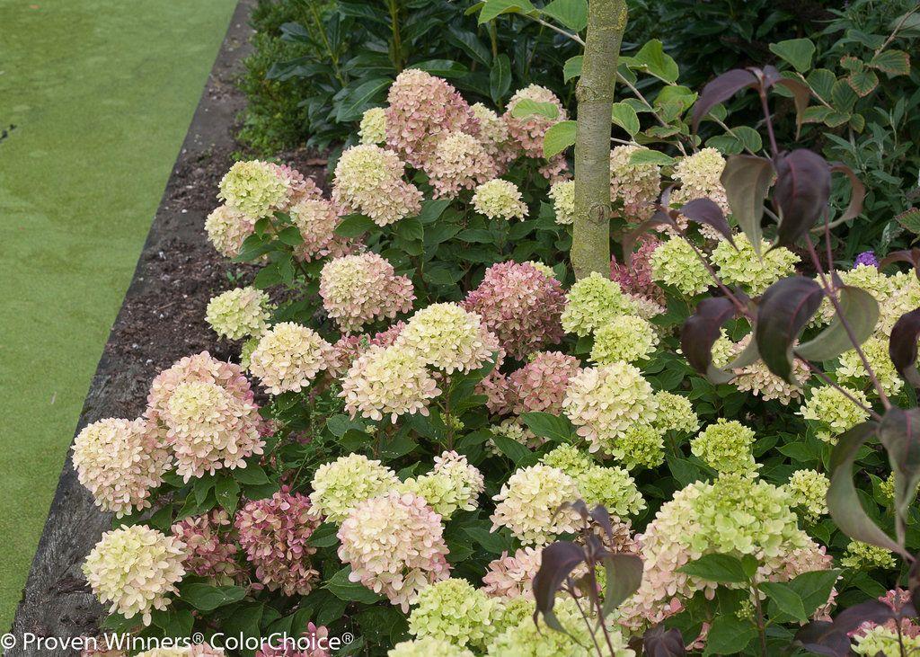 Little Lime Hardy Hydrangea Hydrangea Paniculata Little Lime Hydrangea Hardy Hydrangea Hydrangea Landscaping