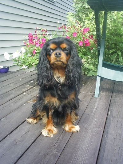Michigan Cavalier Puppy Breeder Cavalier King Charles King Charles Cavalier Spaniel Puppy Cavalier King Charles Spaniel Tricolor
