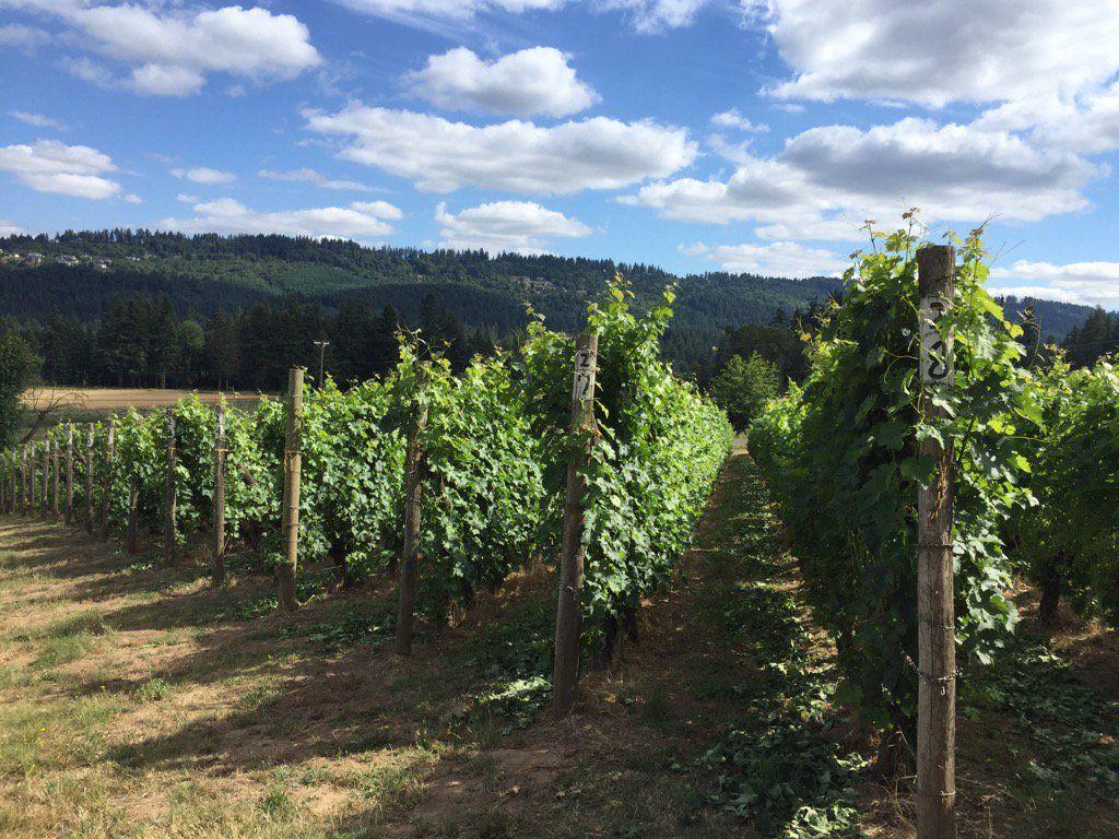 summertime at Ross Vineyards, Chehalem Hills, Oregon