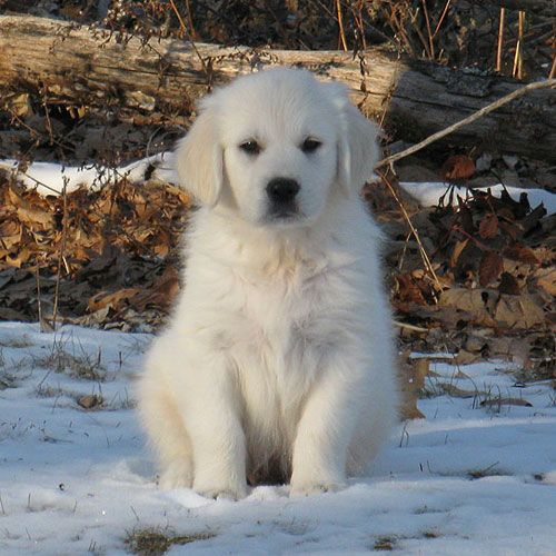 Goldenridge Kennels Golden Retriever Puppies For Sale In New England