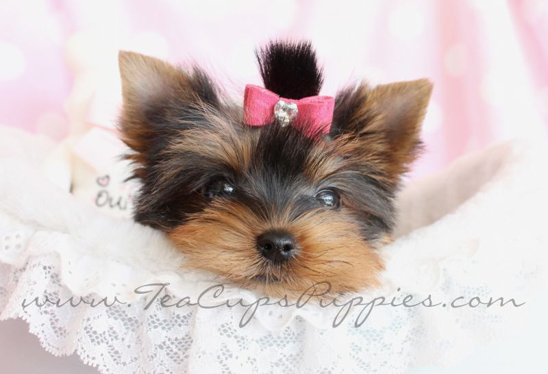 Tiny Teacup Yorkie Puppies For Sale In The Bay Area References