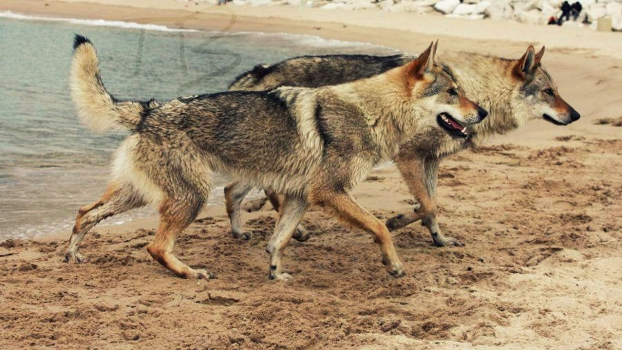 Low Vs Mid Content Wolfdog By Tribandejoycedeviantartcom On