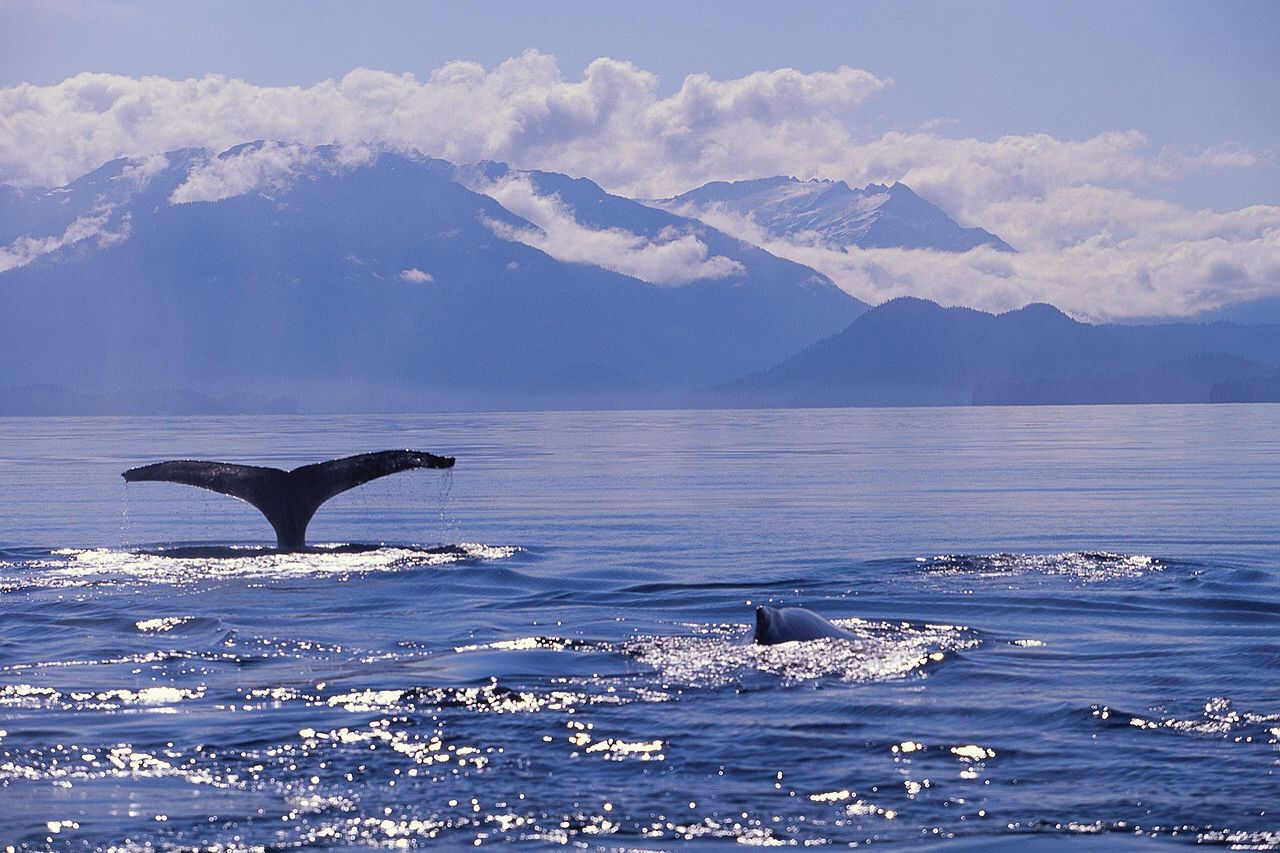 Two Killer Whales following our cruse ship in Alaska.