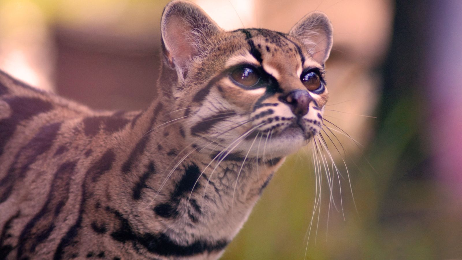 The Pantanal cat is a small feline of tropical South